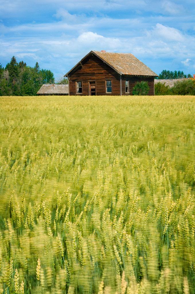 农舍,麦田,艾伯塔省,加拿大